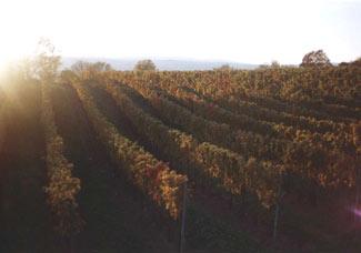 Виноградники в Австрии